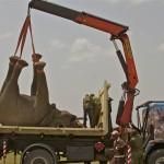 Translocating blind elephant