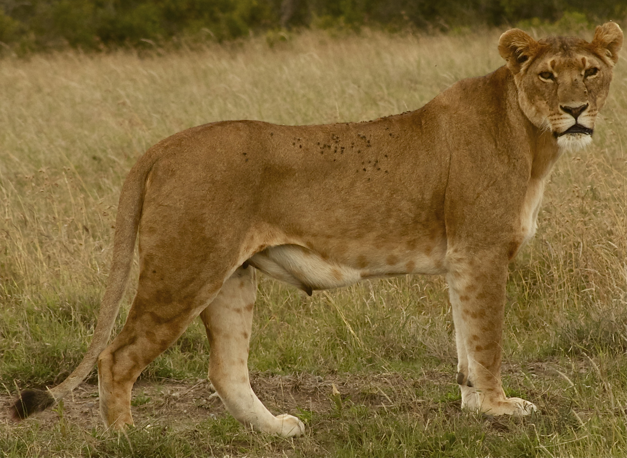 Following Lioness on the hunt